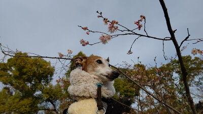 イタグレ大阪城散歩 (9)