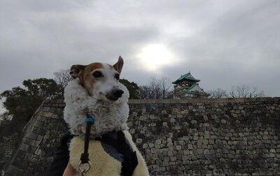 イタグレ大阪城散歩 (4)
