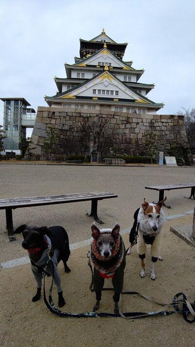 イタグレ大阪城散歩 (7)
