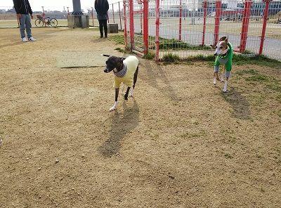 italiangrayhound4