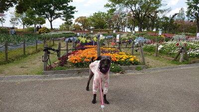 花園中央公園サトザクラ (5)