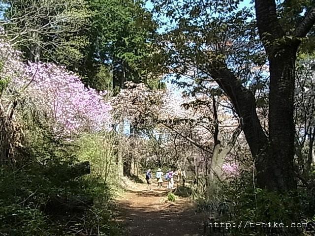 4月下旬ニリンソウとスミレと山桜を満喫の高尾山~小仏・後編