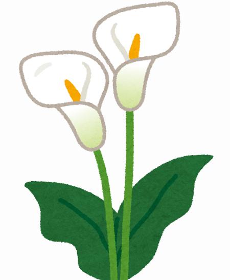 flower_himekaiu_calla