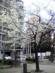 薬院公園の桜