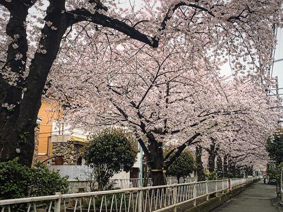 目黒区八雲の桜