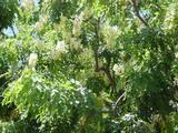 シャワーツリー1