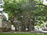 バニヤンツリー