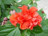 赤い花(カラカウア通り表)