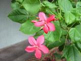 赤い花(カラカウア通り)