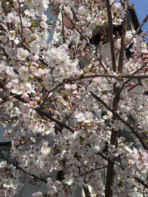 杖と佇(た)つ老夫の視野の遠桜  飯村寿美子