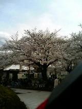 駅前広場の桜です。