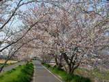 2008年 羽曳野市の桜 2