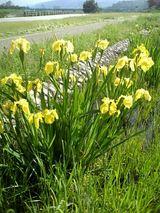 石川河川敷の花 1