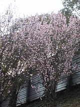 2009年 梅の花 2