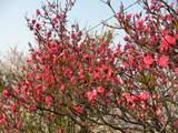 2008年 羽曳野市の桜 3