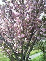 2008年 羽曳野市の桜 5