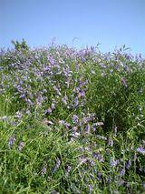 石川河川敷の花 3