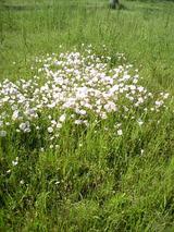 石川河川敷の花 2