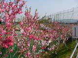 ぼたん桜 2