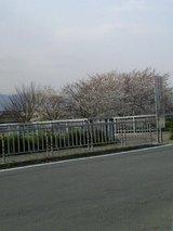 石川 桜 2
