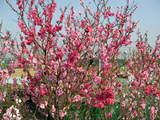 ぼたん桜 1