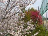 2008年 羽曳野市の桜 4