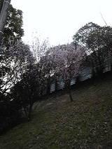 2009年 梅の花 1