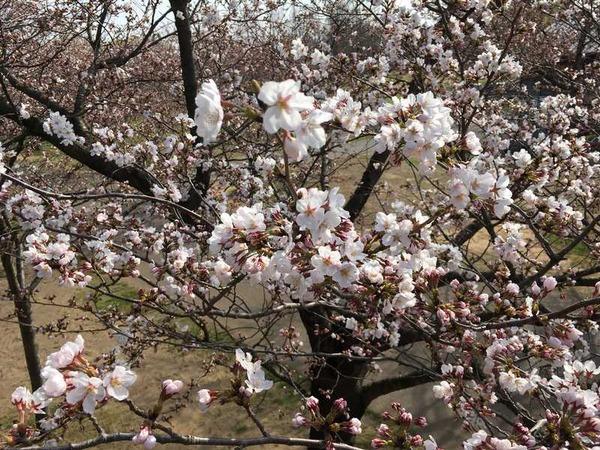 木場潟桜 (7)