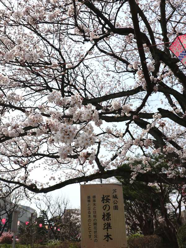 芦城公園桜 (4)