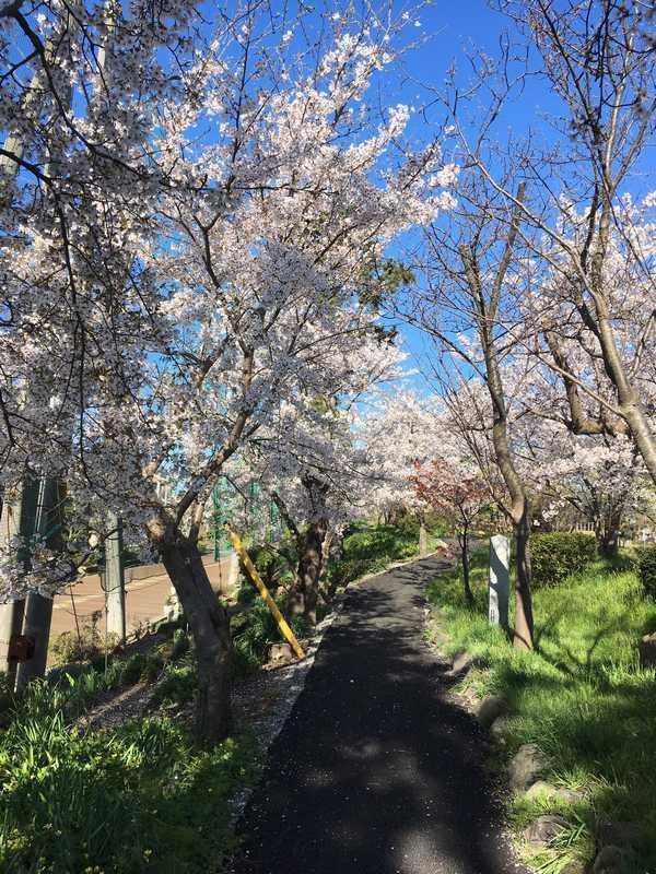 小松城桜 (5)