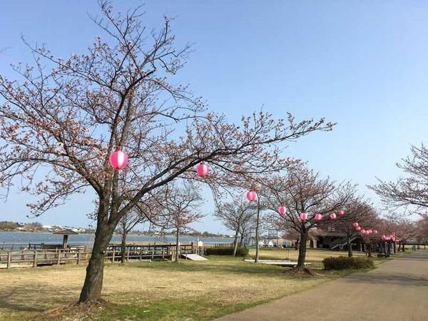 木場潟桜 (8)