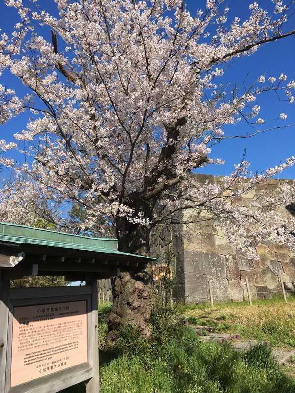 小松城桜 (3)