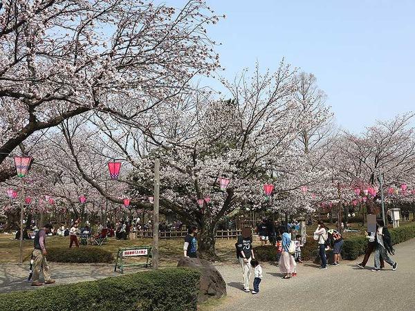 芦城公園桜 (8)