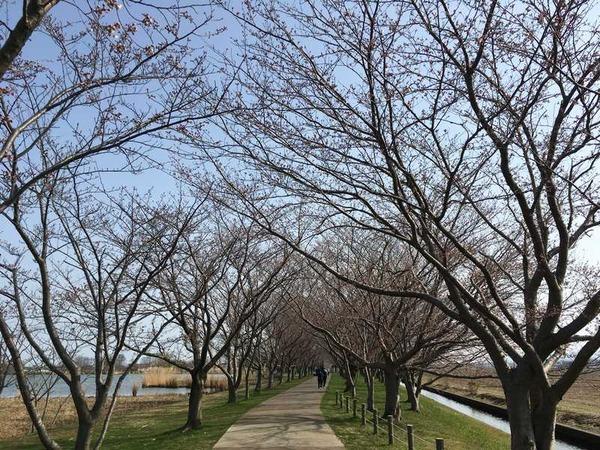 木場潟桜 (2)