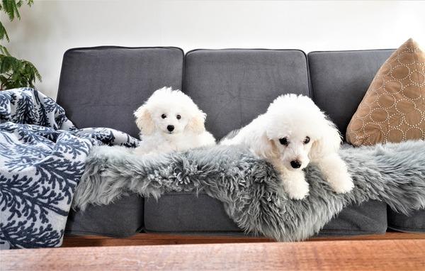 【トイプードルパピー犬成長記録16】キター!激カワ手作りフリース♡愛犬コーデ♪