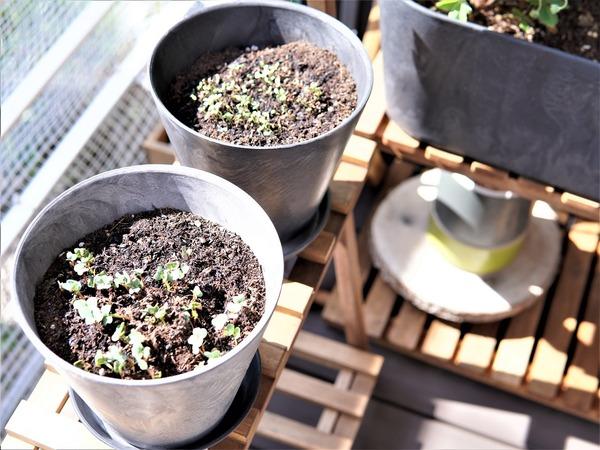 【ダイソー】園芸グッズが充実!ベランダ菜園大問題発覚後にやる気を取り戻した出来事。