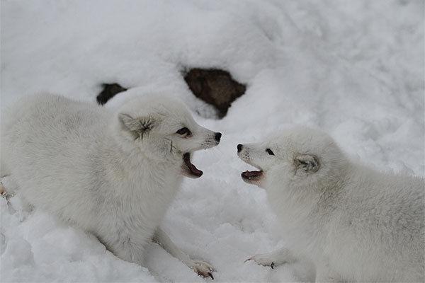 ケンカをしている狐