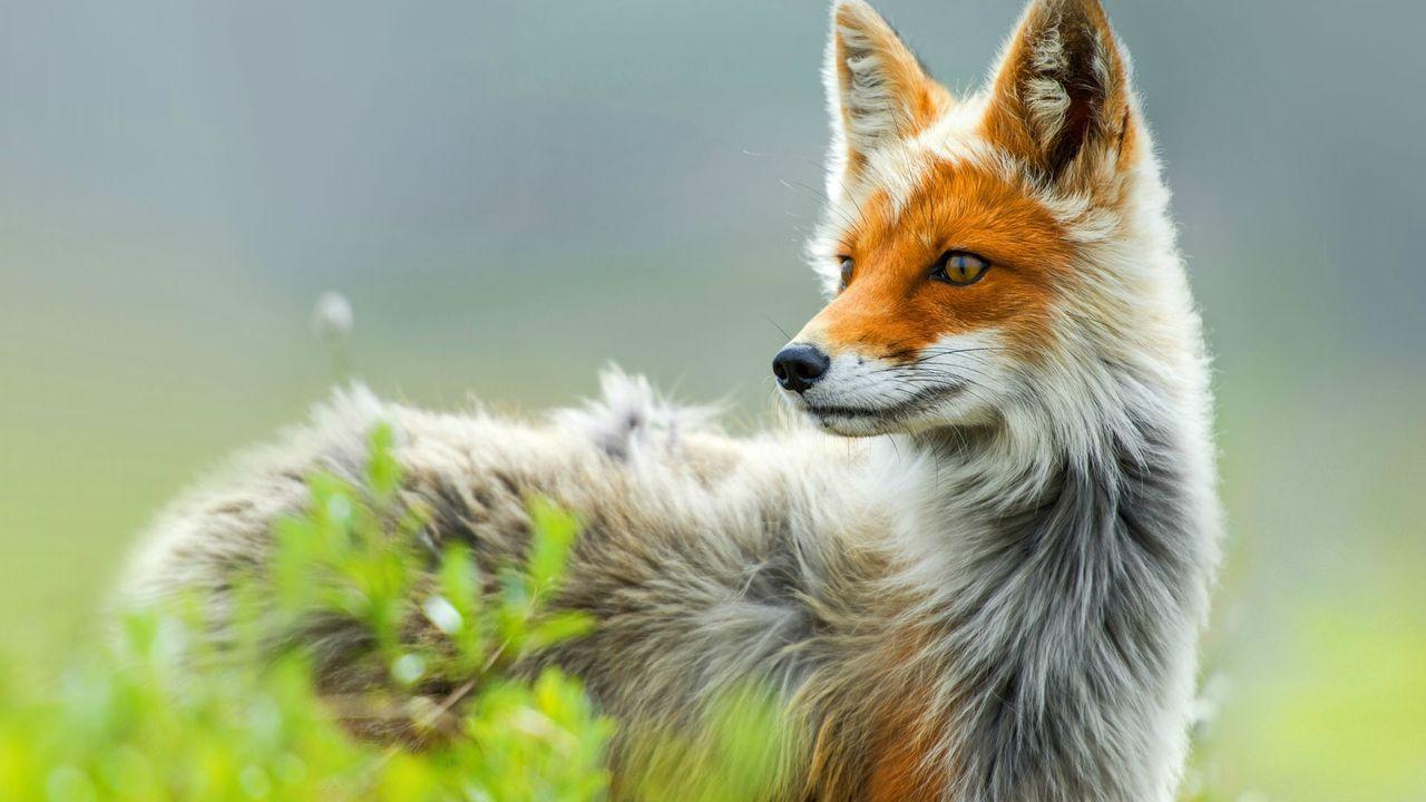 珍しい色の狐