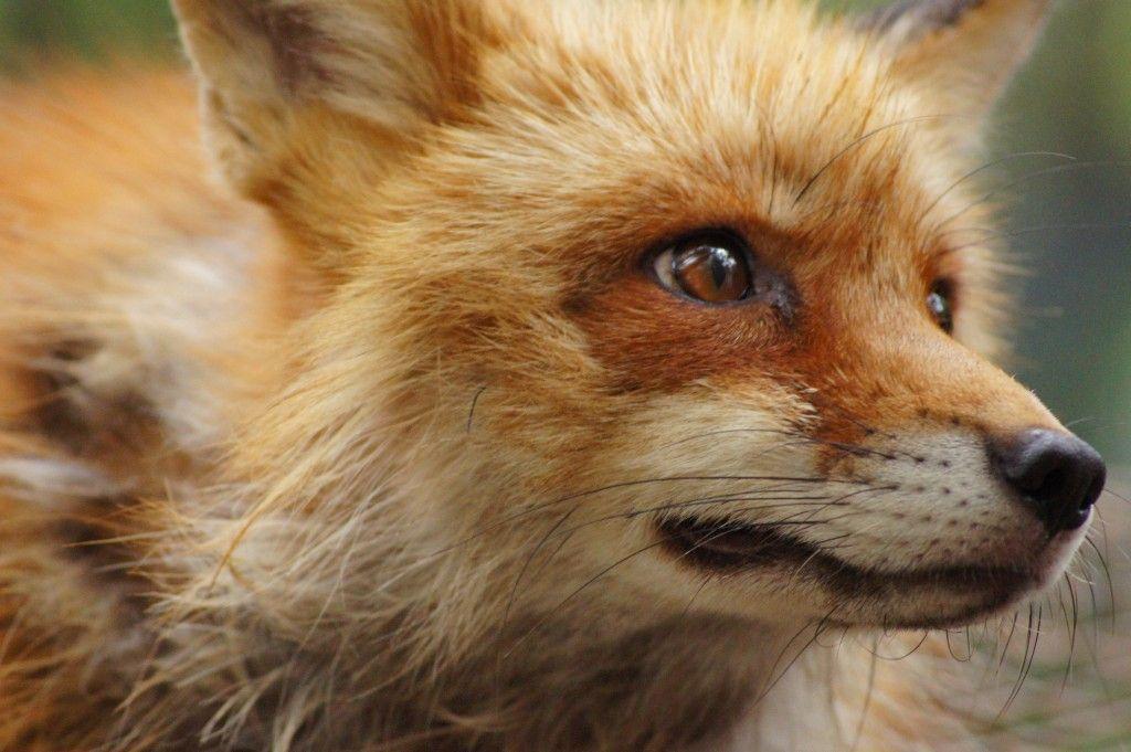 キリッとした狐