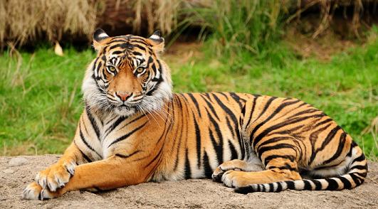 「トラ」の画像検索結果