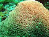 坂田の珊瑚2