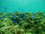 珊瑚とソラスズメダイ