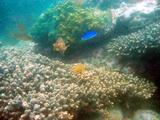 サンゴとおはぐろ