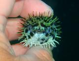 ハリセンボンの幼魚