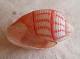 綺麗な貝1