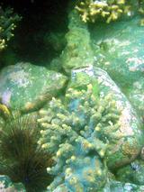 サンゴの剣