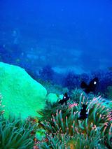 ミツボシクロスズメダイと透き通る海