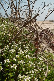 海辺に咲く白い花