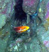 コブダイの幼魚2