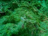 サキシマミノウミウシ